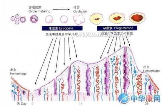 女人人体结构图 女性生理结构 - 健康 - 中天女性网